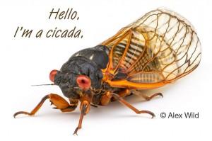Hello I'm a cicada