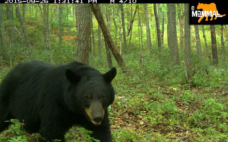 emammal-black-bear