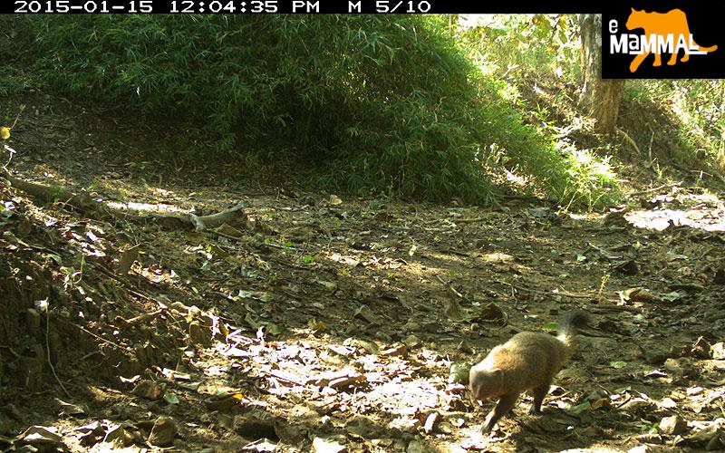 Indian Grey Mongoose - © eMammal