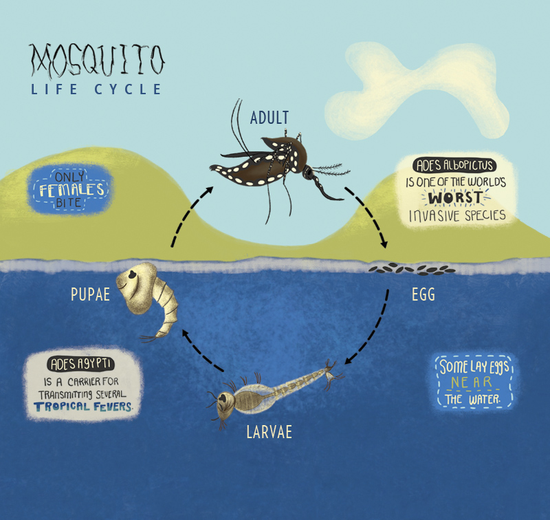 Click to view the mosquito life cycle