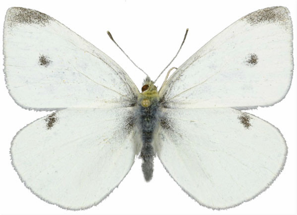mr-pieris